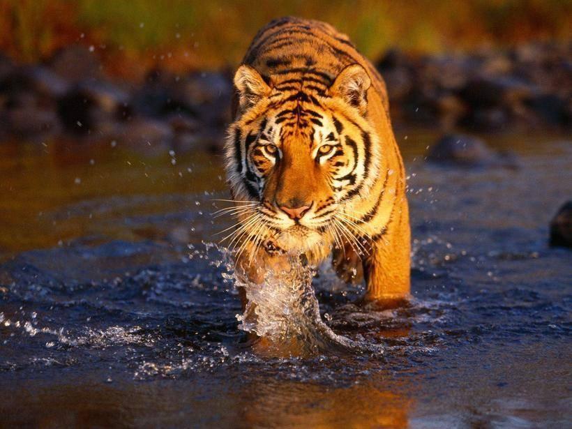Сколько осталось амурских тигров в мире