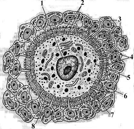 Зрелая половая клетка