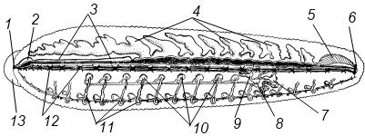 Кольчатые черви рисунок