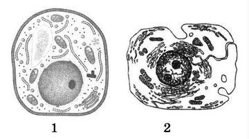 Отличие растительной клетки от животной таблица