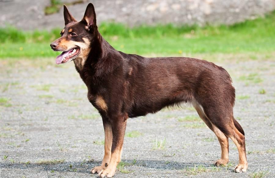 Квартирные собаки породы