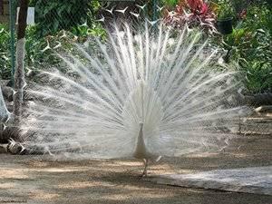 Национальная птица индии