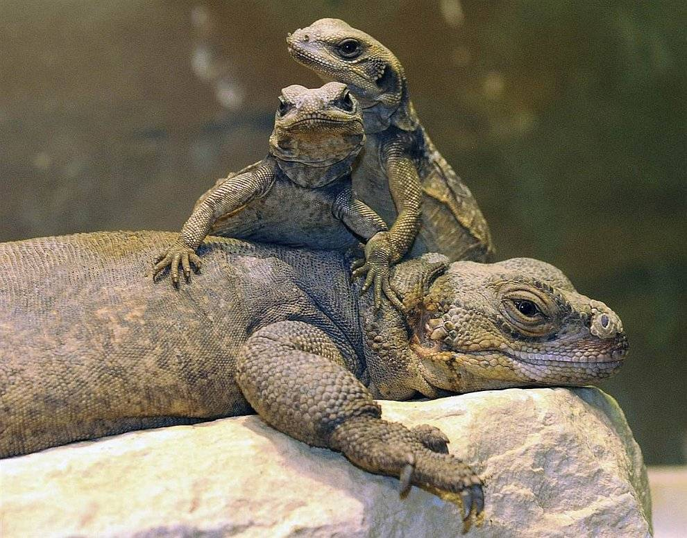 Что едят ящерицы в природе