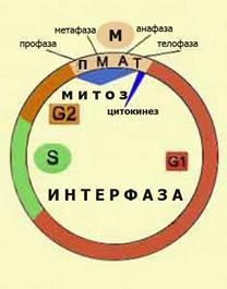 Клеточный цикл определение
