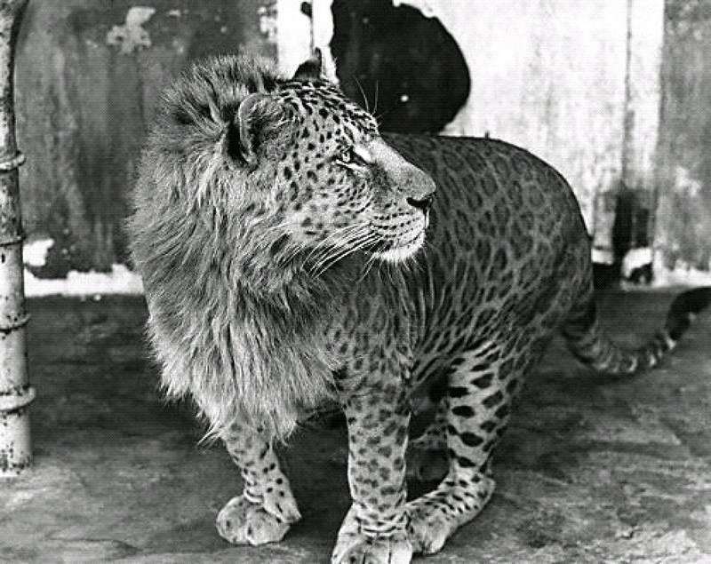Происхождение слова леопард