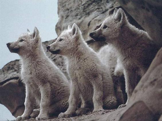 Волк характеристика