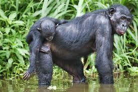 К человекообразным обезьянам относятся