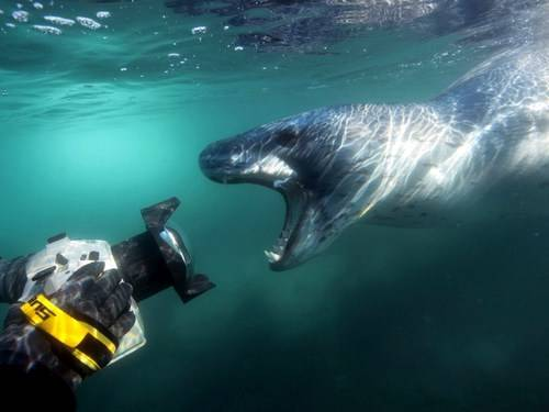 Морской леопард против касатки