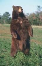 Медведь всеядный или нет