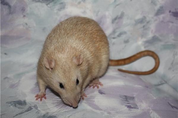 Породы домашних крыс