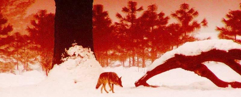 Красный волк рисунок