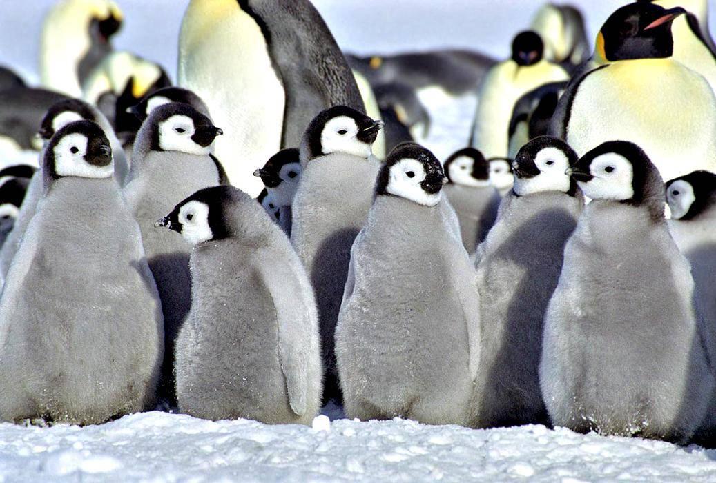 Чем покрыты пингвины