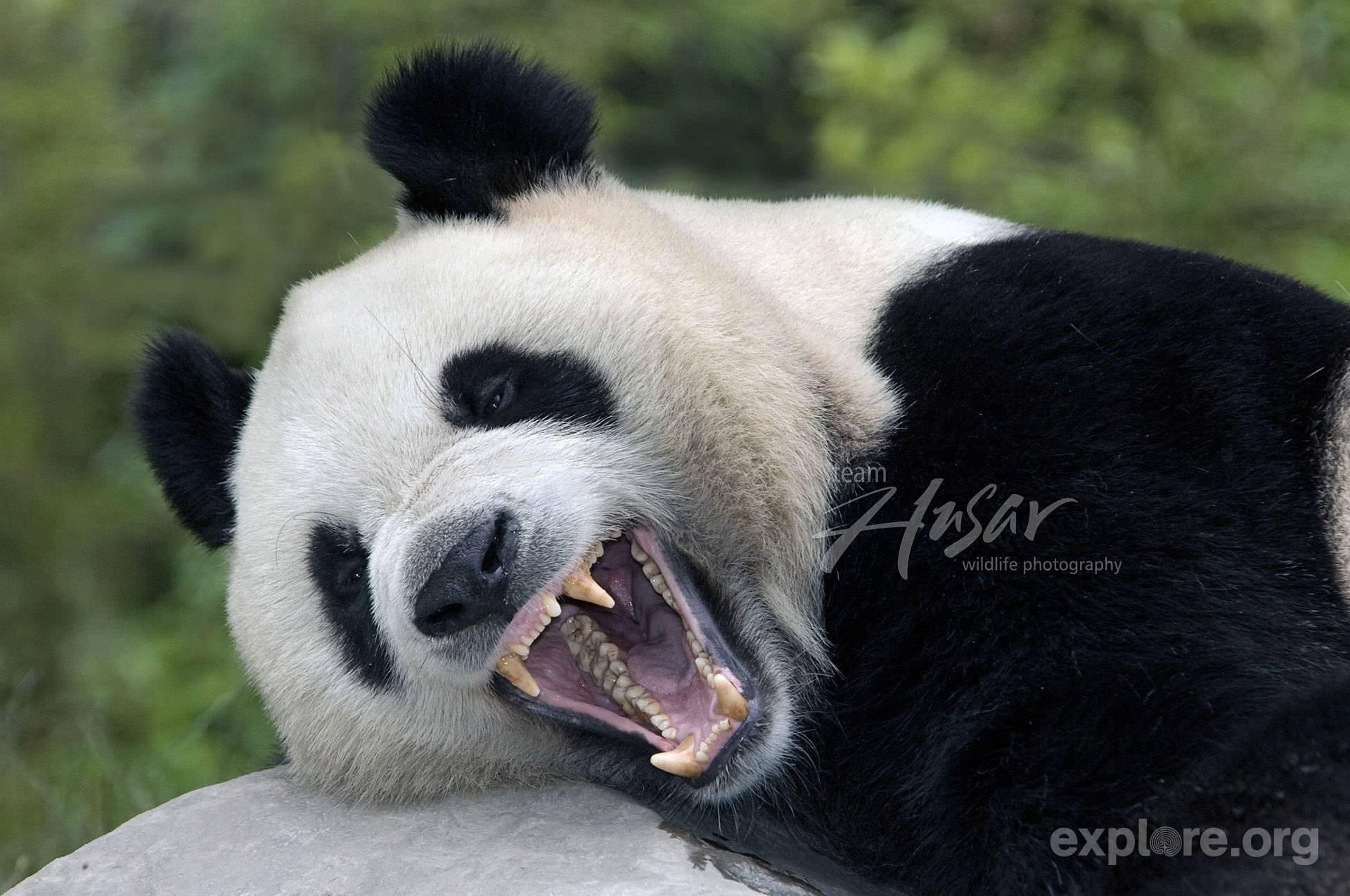 Панда опасна ли для человека