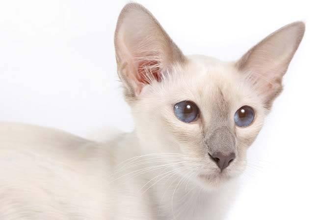 Полинезийский кот фото