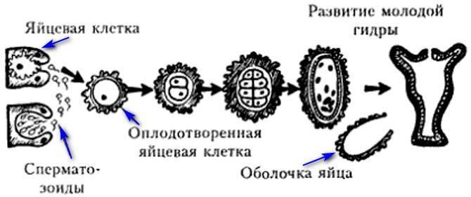 Примеры полового и бесполого размножения