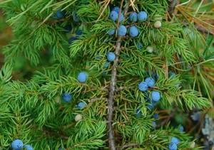 Растения тайги список