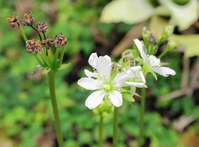 Цветок дионея