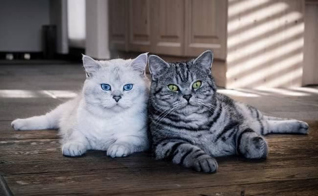 Самая лучшая порода кошек для квартиры