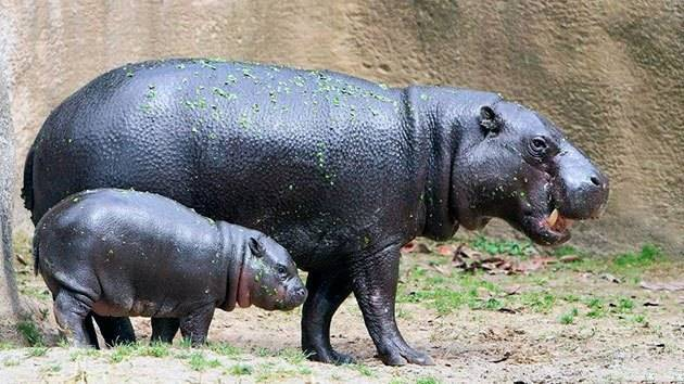 Что едят бегемоты в природе