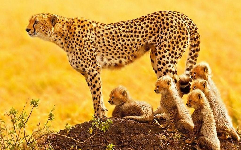 Сколько лет живут гепарды