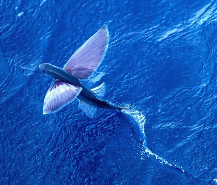 Летающие рыбы фото