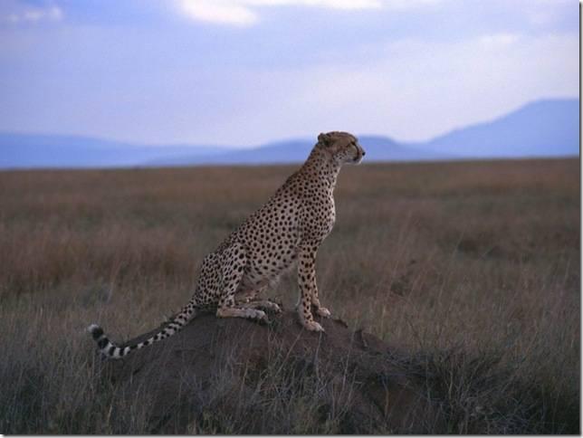 Самое быстрое животное из наземных млекопитающих