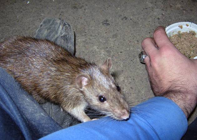 Крыса это животное или нет