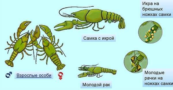 Как размножаются членистоногие
