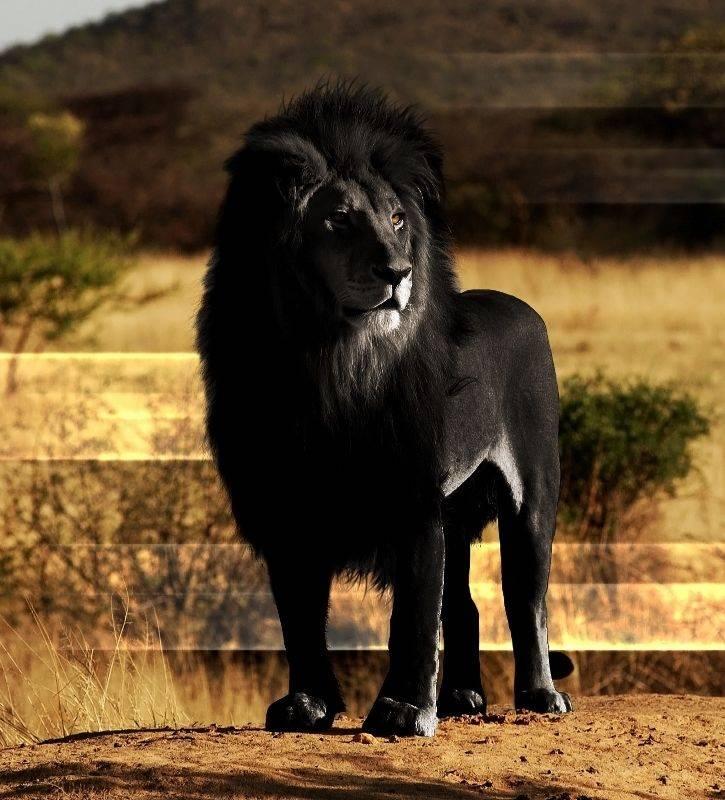 Как выглядит лев