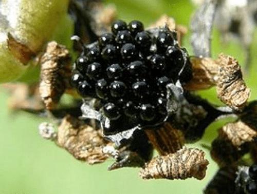 Мухоедка цветок