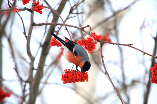 Растительноядные птицы примеры