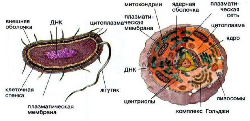 Органоиды прокариот и эукариот