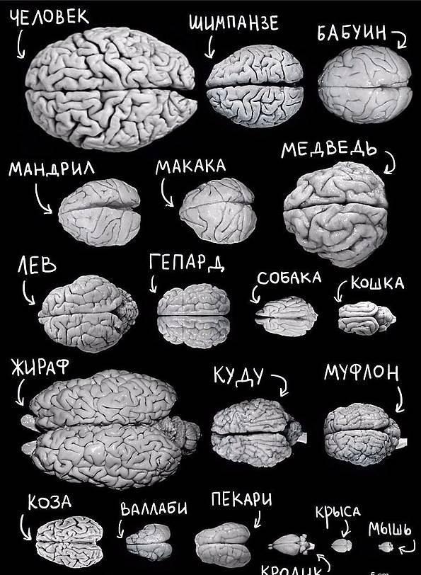 У какого животного мозг похож на человеческий