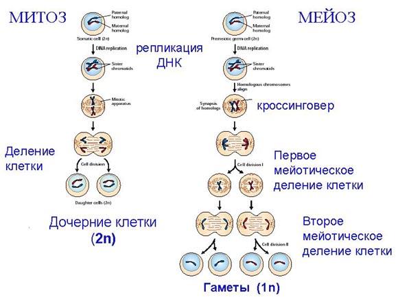 Рибосомы растительной клетки