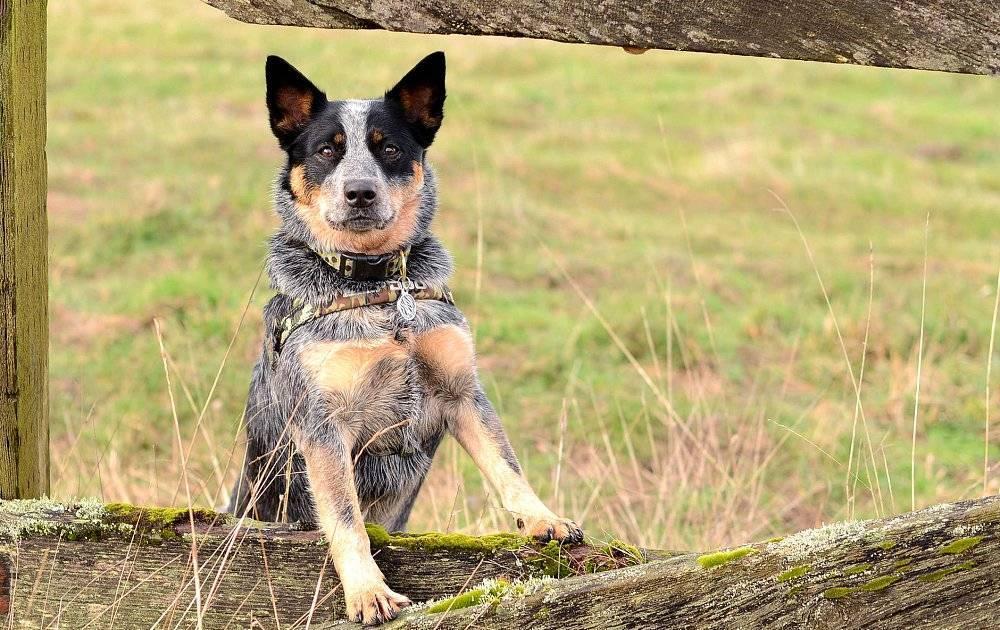 Самая умная порода собак фото