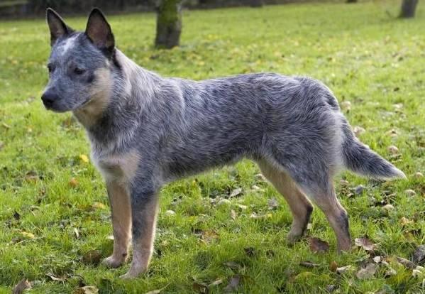 Австралийская порода собак