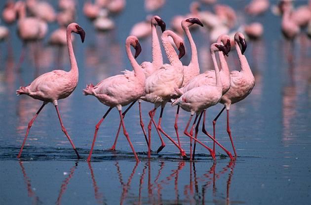 Где обитают розовые фламинго