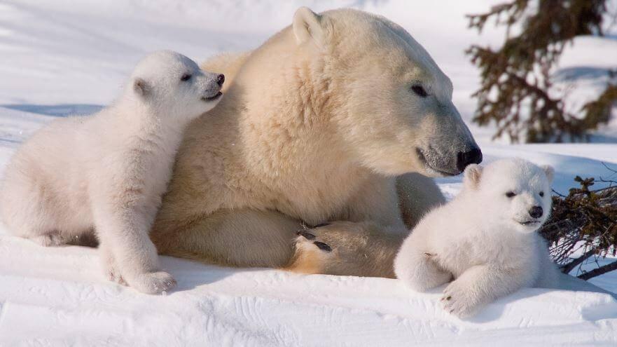 Поведение белого медведя