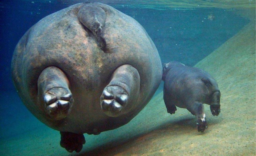 С какой скоростью плавает бегемот