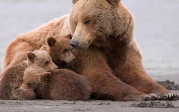 Бурый медведь фото и описание