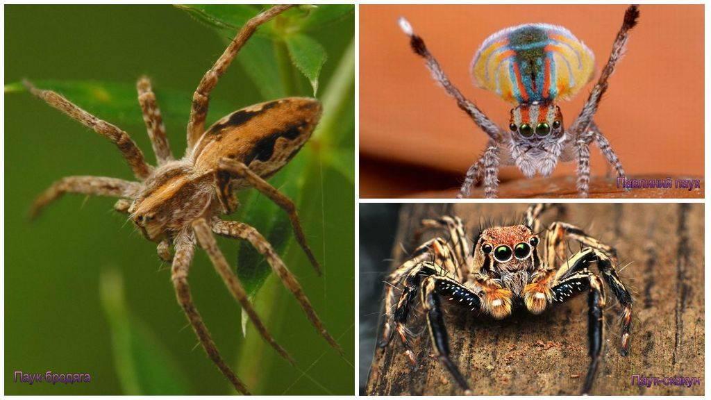 Паукообразные виды и названия