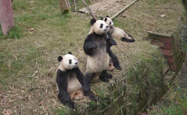 Панда среда обитания