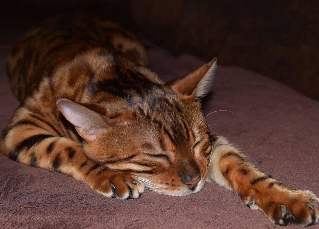 Бенгальская кошка описание породы характер