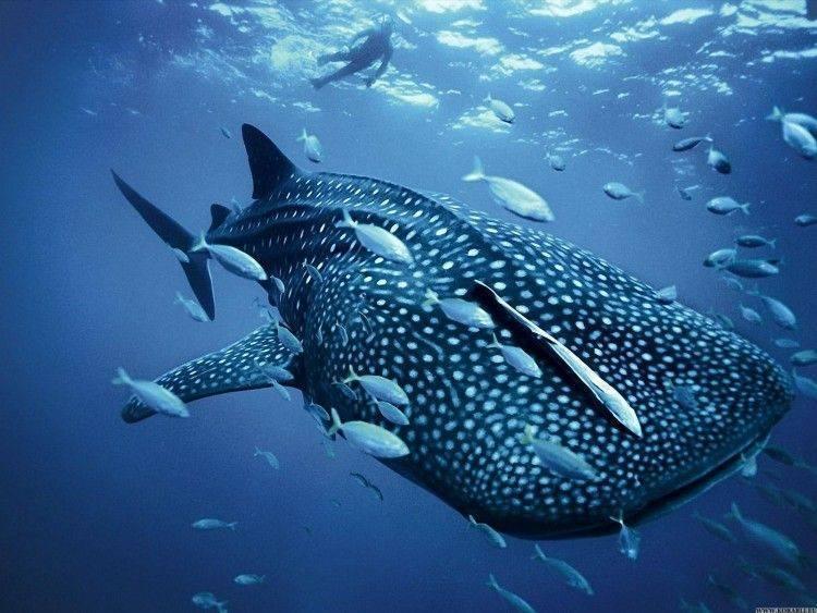 Является ли акула рыбой