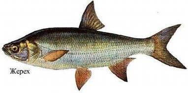Рыба с большой головой и маленьким телом