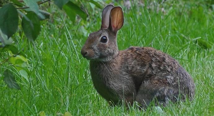 Заяц и кролик отличия