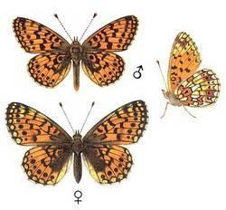 Бабочки тундры