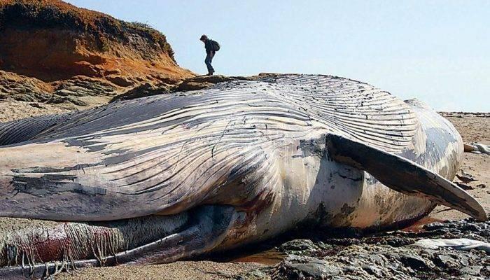 Характеристика кита