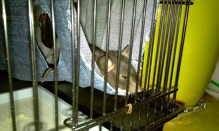 Что должно быть в клетке у крысы