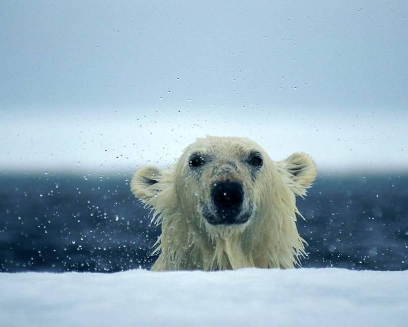 Почему белый медведь не ест пингвинов